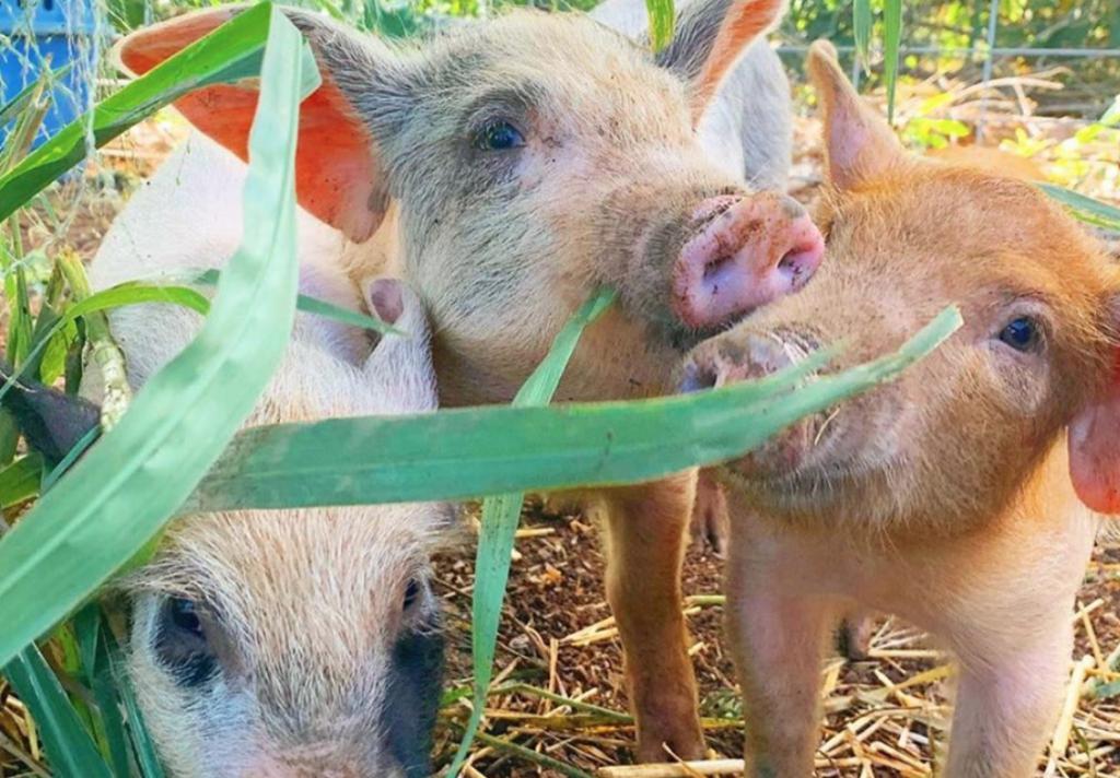 Big Island Farm Sanctuary | things to do on the Big Island