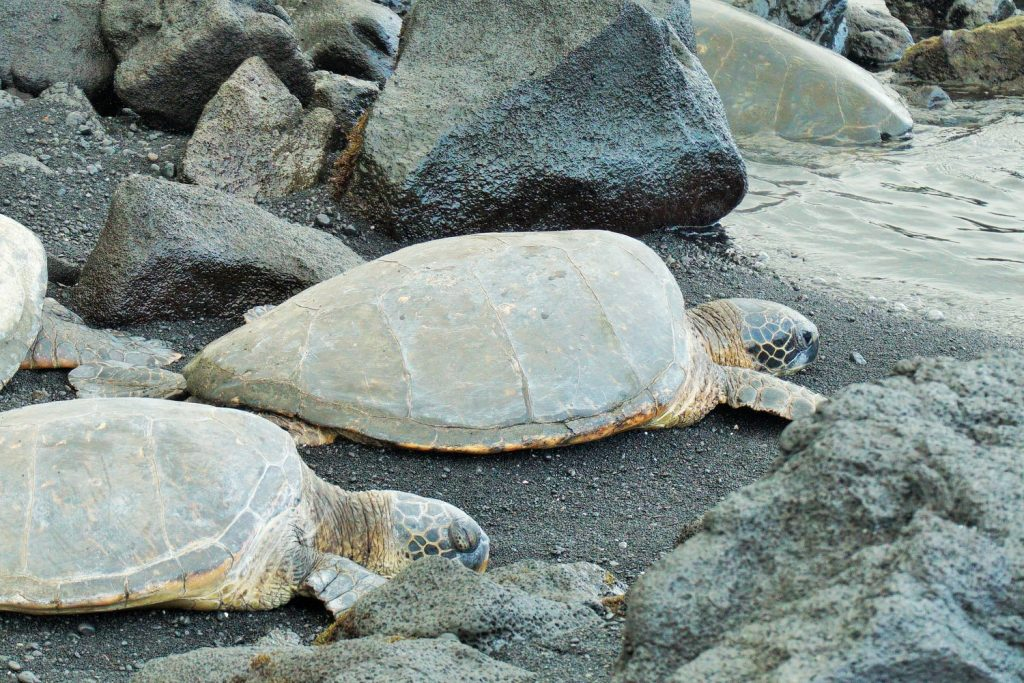 the best things to do on the Big Island \ two turtles on Punalu'u Black sand beach