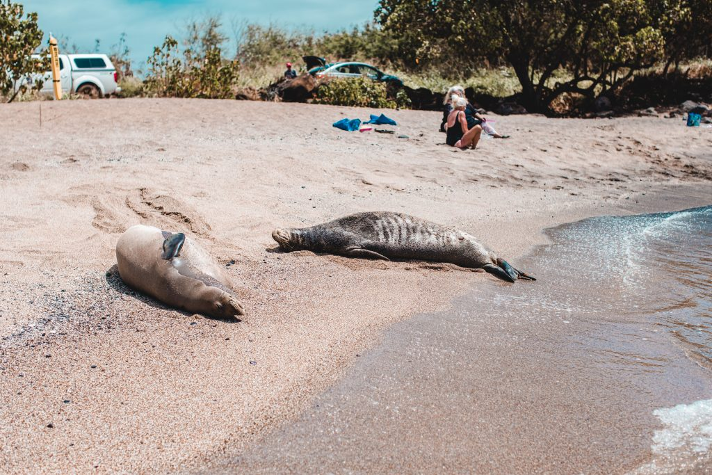Hawaiian Monk Seals at Glass Beach