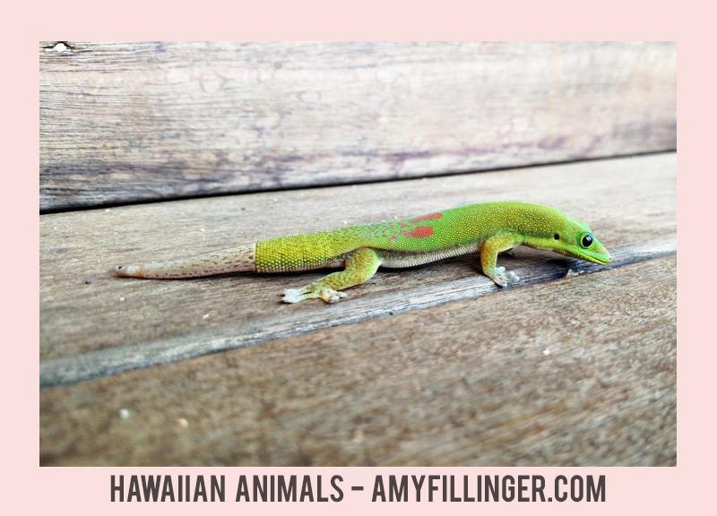 geckos in Hawaii